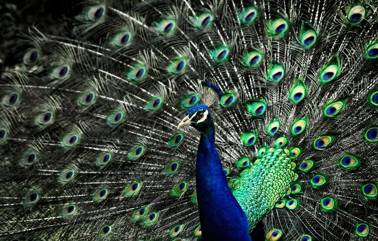 Nikon D100 Peacock