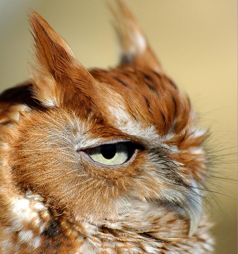 Nikon D100 Screech Owl 1